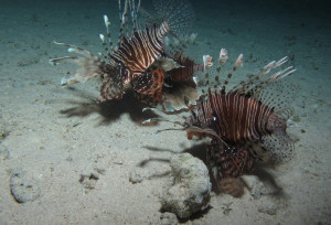 A trio Miles firefish (P. miles) hunting at night in Red Sea, Egypt. Notice how the pectoral fins are spread to corral the prey, and the inclined position of the (upper left) individual ready to strike. The small prey fish can be seen right under the shadow of the upper left lionfish. Image © Derek Keats. https://www.flickr.com/photos/dkeats/6406268933/in/photostream/