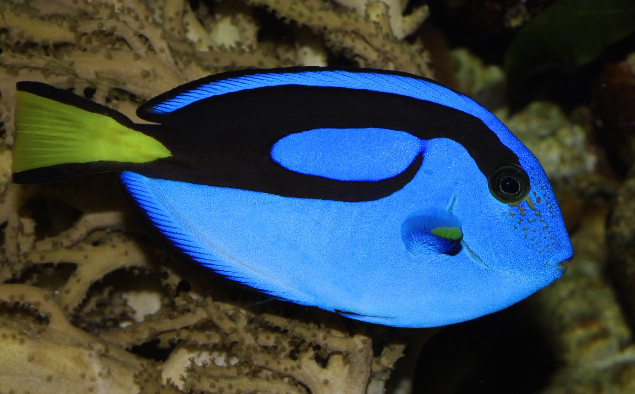 Masna palette surgeonfish for What fish is this