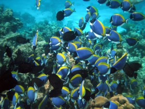 """Maldives Surgeonfish, Acanthurus leucosternon"" by Uxbona. Licensed under CC BY 3.0 via Commons - https://commons.wikimedia.org/wiki/File:Maldives_Surgeonfish,_Acanthurus_leucosternon.jpg#/media/File:Maldives_Surgeonfish,_Acanthurus_leucosternon.jpg"