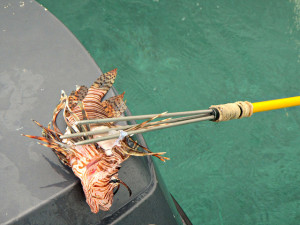 Speared Lionfish. Credit to CameliaTWU (https://www.flickr.com/photos/cameliatwu/8575333503)