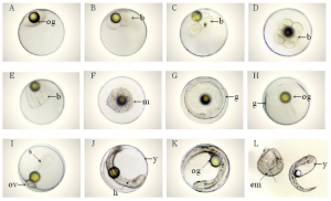 Embryonic Development of P. hepatus, Yuan-Shing Ho et. al, Eastern Marine Biology Research Center, Fisheries Research Institute, Taiwan. A, Fertilized eggs ; B, 2-cell stage ; C, 4-cell stage ; D, 8-cell stage ; E, 16-cell stage ; F, Morula Stage (m) ; G, Blastula stage (g) ; H ⅔ of yolk was covered with blastodisc ; I, Optic vesicles appeared (ov) 7 somites (s) ; J, Optic lens (ol) and tail formed, tail freed from yolk sac ; K, ⅘ of yolk was surrounded with embryo ; L, Newly-hatched larvae ; b=blastomeres; bp= body pigment; em= egg membrane; h= heart; og= oil globule; tb= tail bud; y= yolk