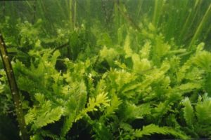 The algae Caulerpa taxifolia. Public Domain, WikiMedia (https://goo.gl/8Gbkro)