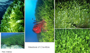 Meadows of C. taxifolia by A. Meinesz. http://biophysics.sbg.ac.at/ct/caulerpa.htm